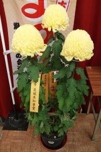 H30菊花展4