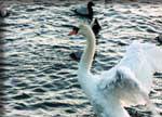 北浦の白鳥