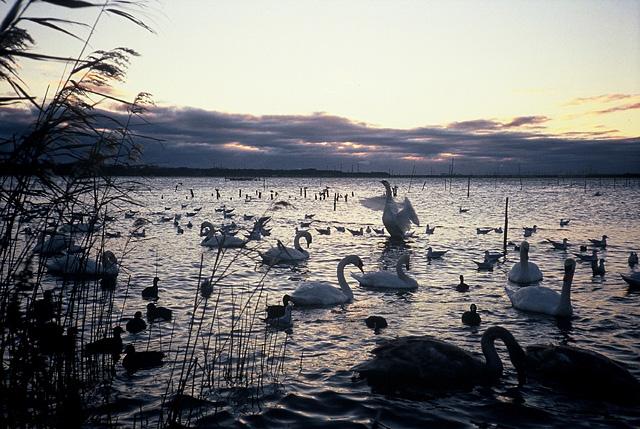 白鳥の飛来1大