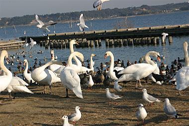 白鳥の里(北浦湖岸)に集まる水鳥たち